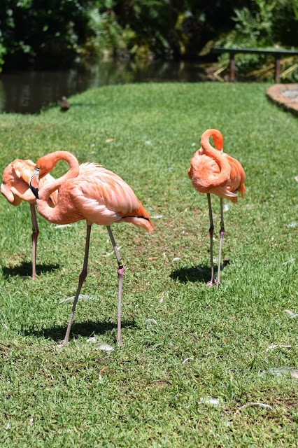 flamingos sarasota jungle gardens