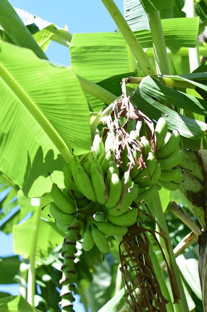 banana tree port charlotte