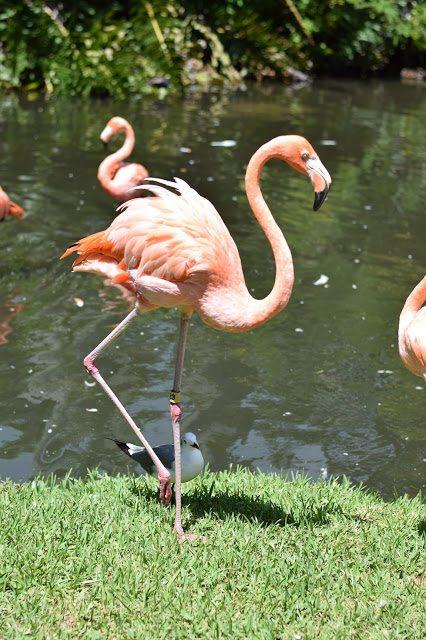 flamingos sarasota jungle gardens