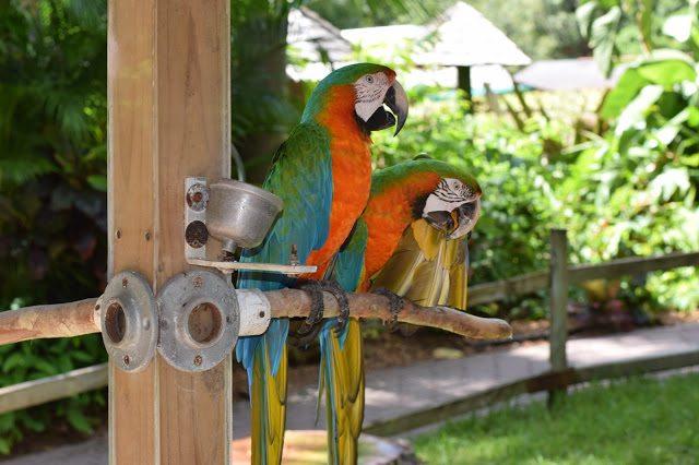 parrots sarasota jungle gardens
